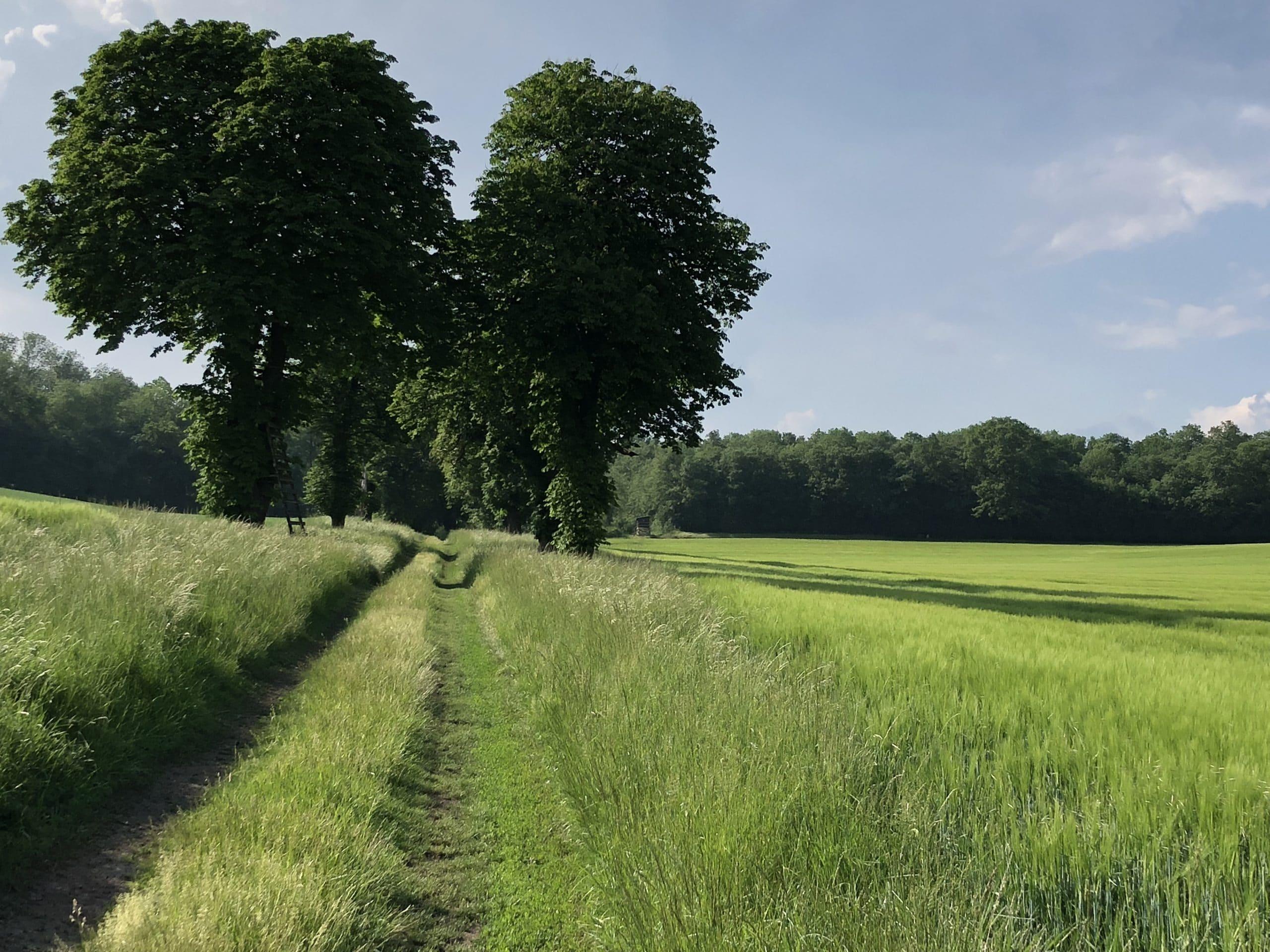 Baumallee neben Feld im Weinviertel im Frühling, Wald im Hintergrund